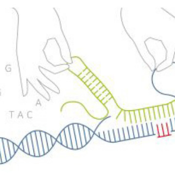 Genome Editing in Human Cells: The Dos and and Don'ts