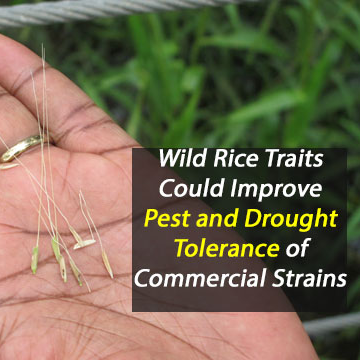 Hardiness of Wild Rice Could Assist Commercial Rice Growers
