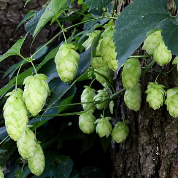 Hoppy Beer Without the Nasty Surprise