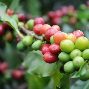 How Could Extinction Threat Affect Coffee Farming?