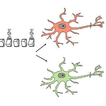 How to Make Neurons: Differentiating pluripotent stem cells to cortical or hypothalamic neurons