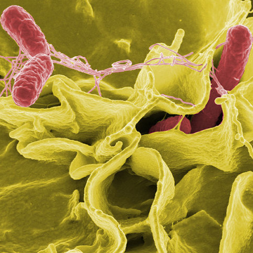 Immunological Insight Offer Improvements in Salmonella Vaccines