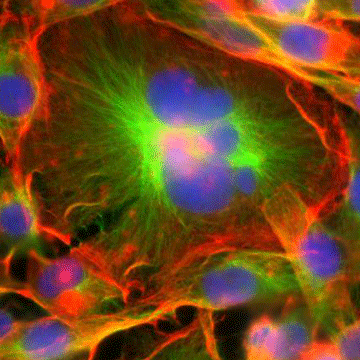 Key Physical Properties of Giant Cancer Cells Revealed