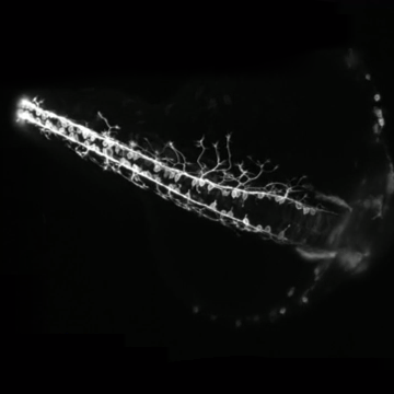 Light Sheet Imaging Helps Capture Zebrafish Neural Development