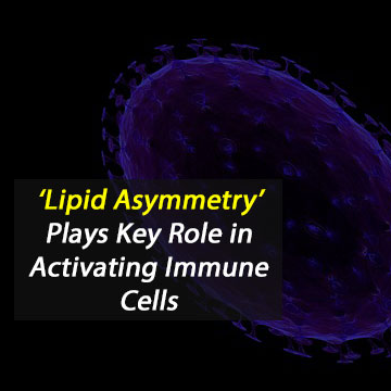 'Lipid Asymmetry' Plays Key Role in Activating Immune Cells