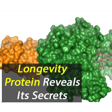 Longevity Protein Reveals its Secrets