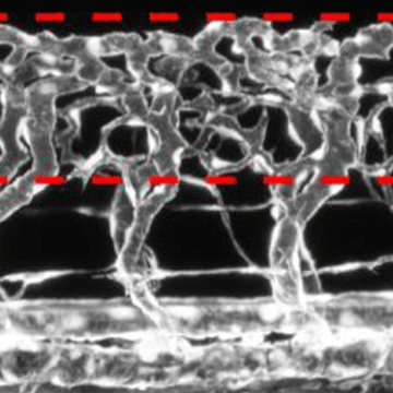 Neurons Signal Spinal Cord Vascularisation