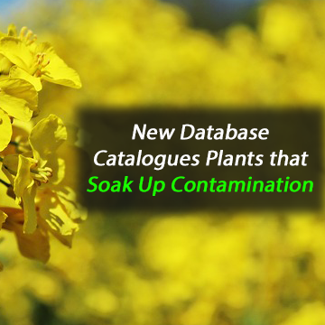 New Database Catalogues Plants that Soak Up Contamination