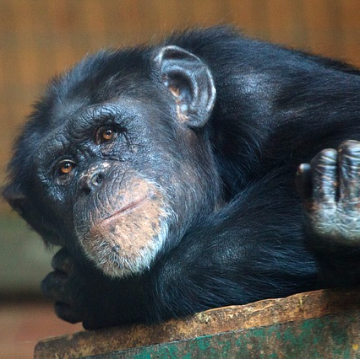 Pathological Hallmarks of Alzheimer's Disease in Old Chimpanzee Brains