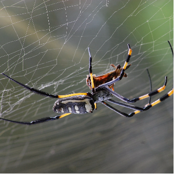 Peculiar Torsion Dynamical Response of Spider Dragline Silk to Improve Material Design