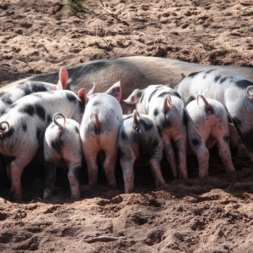 Pre-Clinical Piglets Reveal Gut-Brain Link Via Cortisol