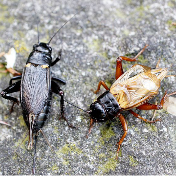 Prozac Makes Crickets Calm