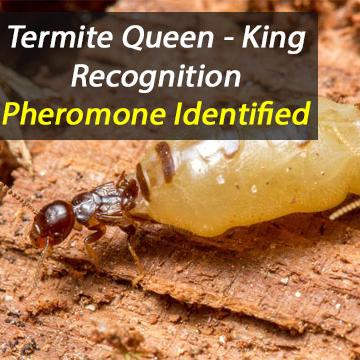 'Royal' Pheromone Identified in Termites