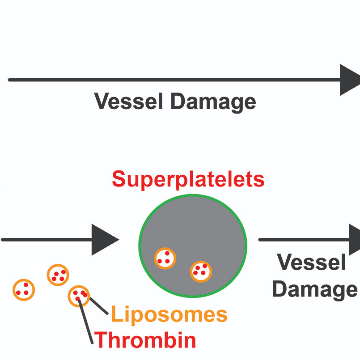 """""""Superplatelets"""" Could Help Make Trauma More Survivable"""