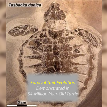 Survival Trait Evolution Shown in 54 Million-Year-Old Sea Turtle