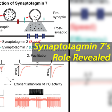 Synaptotagmin 7 Ensures Efficiency of Inhibitory Signal Transmission