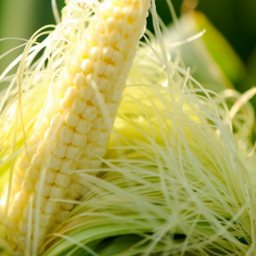 Taking the Genomic Revolution to Corn Fields to Improve Crops