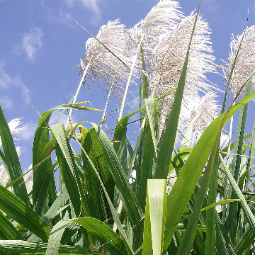 The Complex Sugarcane Genome is Decoded