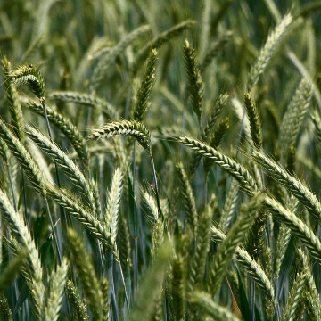 The World's Most Complete Picture of the Wheat Genome