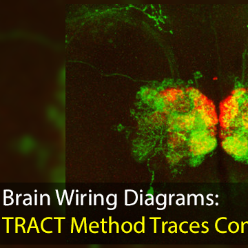 Transneuronal Control of Transcription (TRACT) Method to Make Brain ...