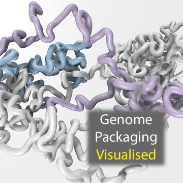 Watch: Genome Packaging Revealed in Unprecedented Detail