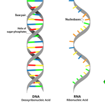 dna vs rna essay all dna and rna bases dna vs rna nucleic acids article khan academy dna and. Black Bedroom Furniture Sets. Home Design Ideas