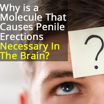 Why is a Molecule Necessary for Penile Erections Important for Brain Cell Communication?